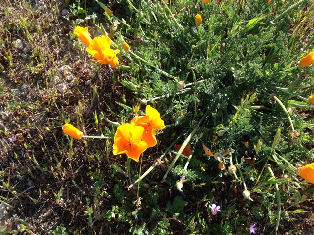 California's golden poppies