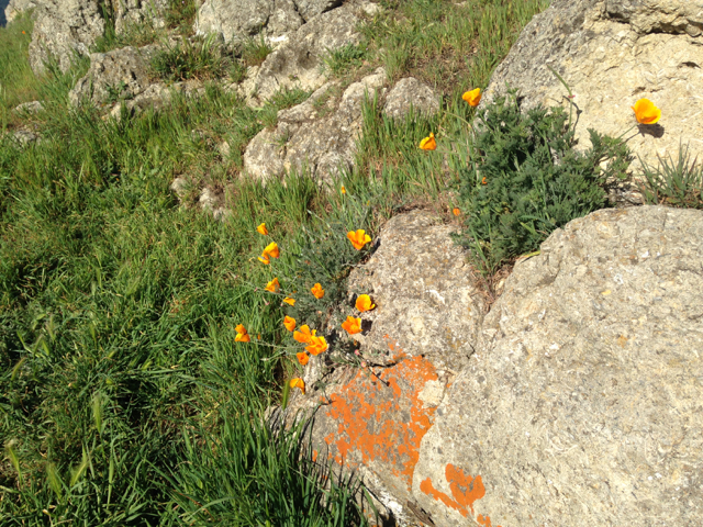 One more poppy photo---I love our golden poppies