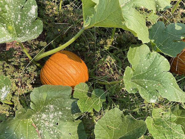 Real pumpkin patch pumpkins